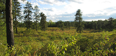 A landscape with occasional pitch pines towering above low-growing scrub oak bushes.