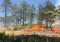 Flames of a prescribed fire burning under pitch pine trees