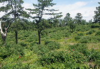 Albany Pine Bush landscape