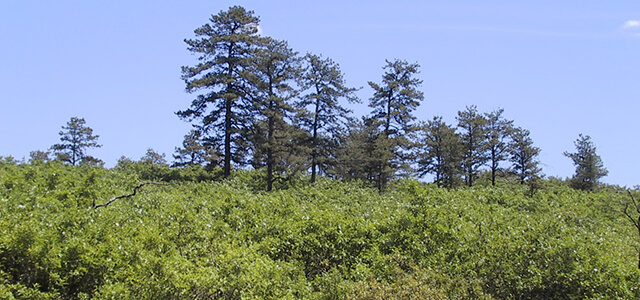 Pitch pine-scrub oak thicket on a sunny day