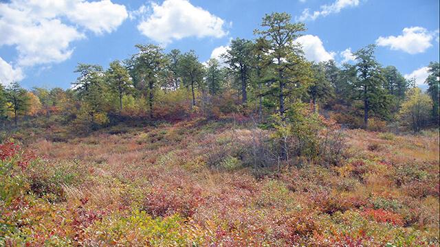 Pitch pine-scrub oak barrens in autumn