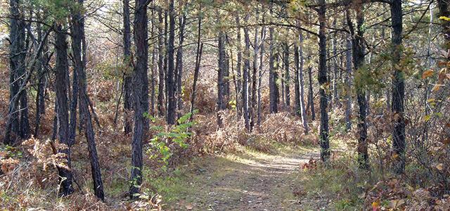Pitch pine-oak forest