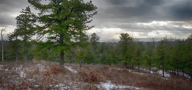Pitch pine-scrub oak barrens in winter
