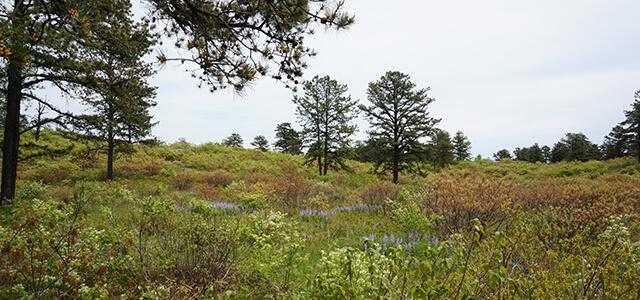 Pitch pine-scrub oak barrens in spring