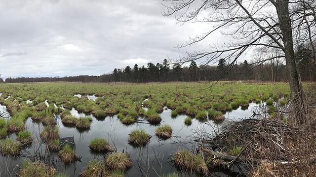 Wetland in the Albany Pine Bush