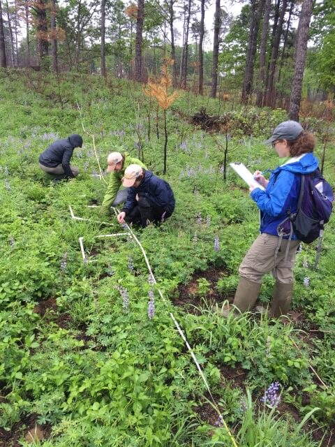 Researchers counting lupine plants.