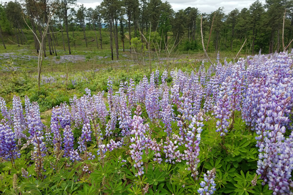 Field of wild blue lupine flowers in bloom