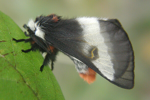buckmoth on green leaf