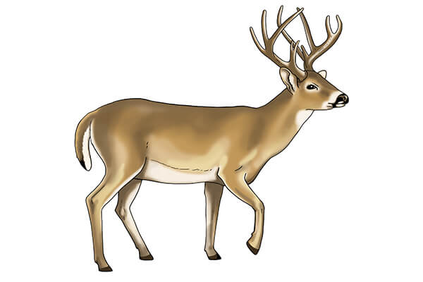 white tailed deer sketch