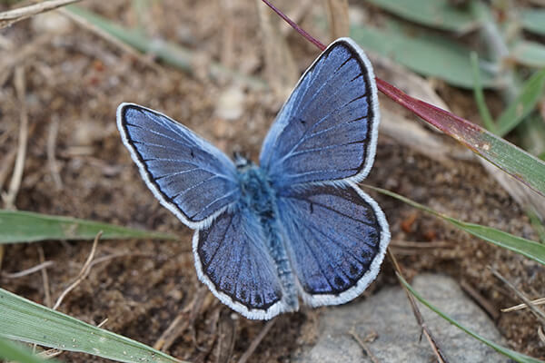 A male Karner blue butterfly on the ground.