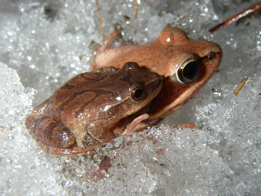 Two frogs sitting in ice