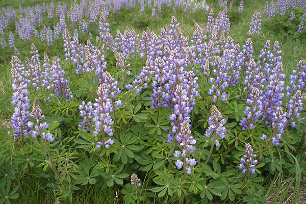 A field of purple Wild blue lupine flowers