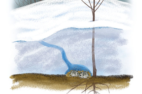 illustration of mouse in burrow under snow