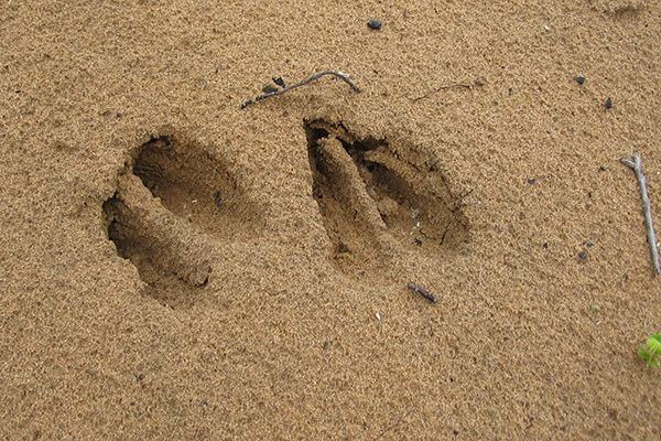 Deer tracks in the sand
