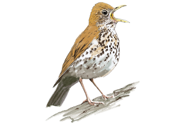 wood thrush illustration