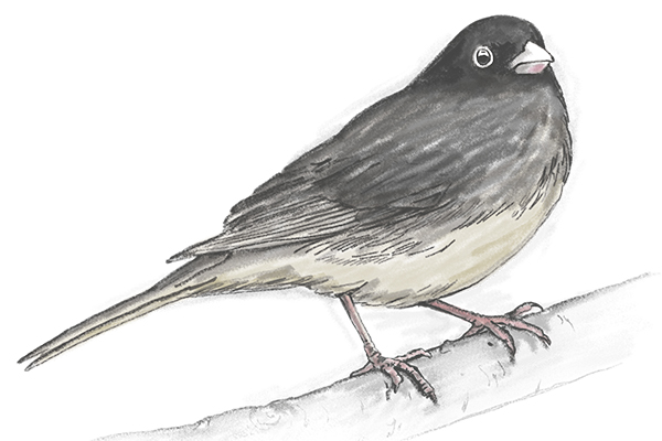 Junco sketch