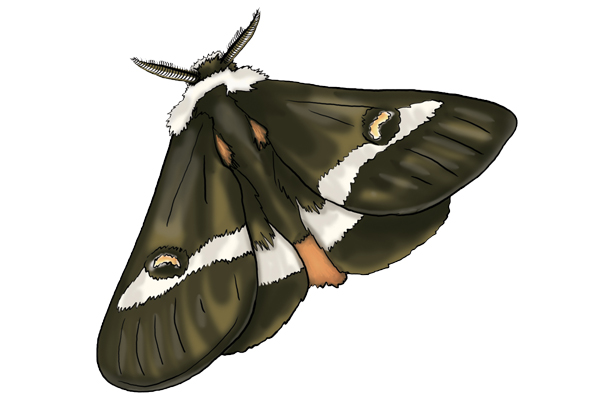 Buckmoth illustration