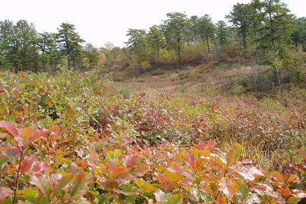 fall pine barrens landscape