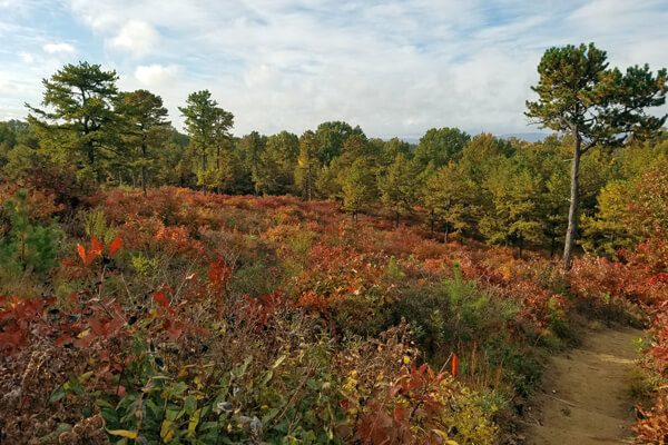 Fall Pine Barrens with trail going through it
