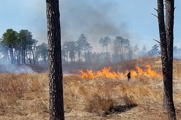 controlled fire burning in pine barrens habitat