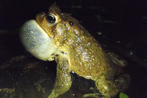 A frog calling