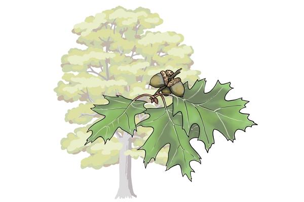 Red oak tree illustration