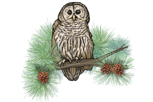 Barred owl sketch