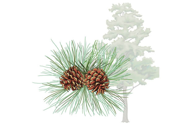 clip art of pitch pine tree with close up of pine cones