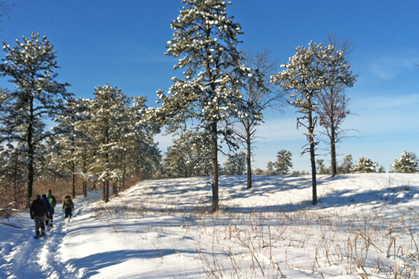 Pitch pine trees and snow covered landscape