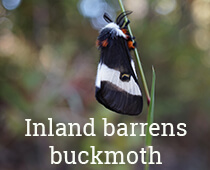 Inland Barrens Buckmoth