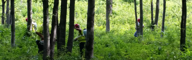 People wearing hard hats stand at the base of invasive trees and apply a chemical herbicide to holes