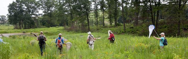 A group of people walking through a wetland carrying white nets for catching insects.