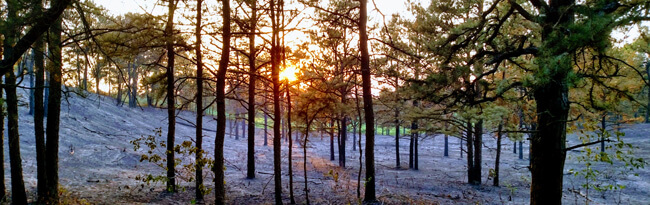 The ground is covered in ashes and the trees are black as the sun rises after a prescribed fire.