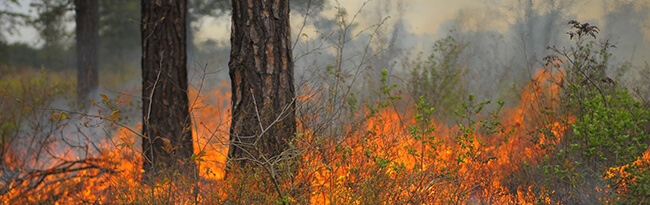 Low flames burning vegetation under pitch pine during a prescribed fire