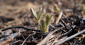 lupine seedling growing from ashes