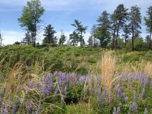 Pitch pine-scrub oak barrens