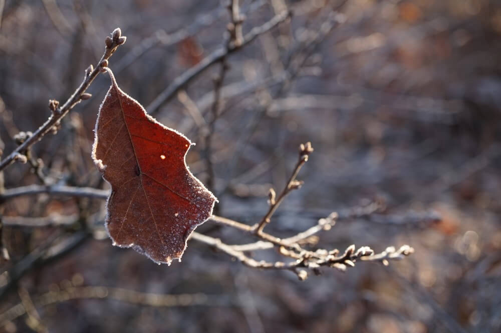 Frosty bear oak leaf