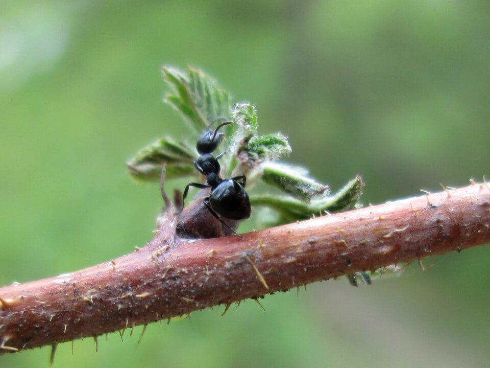 Dolichoderus taschenbergi