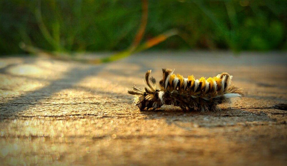 Milkweed tussockmoth