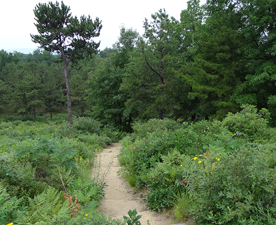Pine Bush Trail
