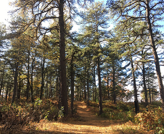 Pitch pine trees and sandy trail
