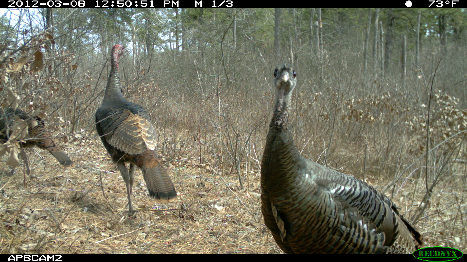 Trail camera image of wild turkeys. Two are walking away from the camera and one is staring at the camera.