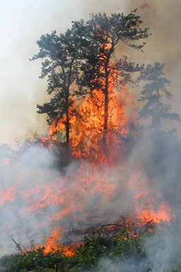 Fire and pitch pine trees