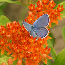 Karner blue butterfly on butterfly milkweed