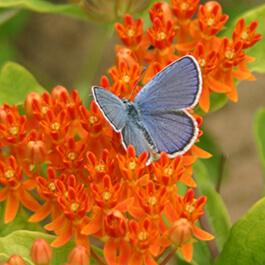 Karner blue butterfly on butterfly milkweed