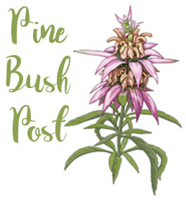 Drawing of dotted horsemint
