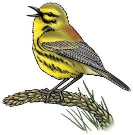 Prairie warbler drawing