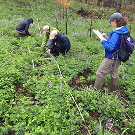 Scientists counting lupine stems