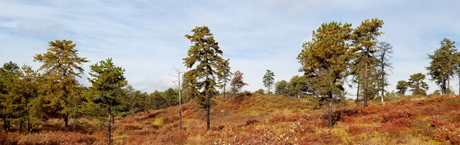 Broad view of inland pine barrens landscape in autumn