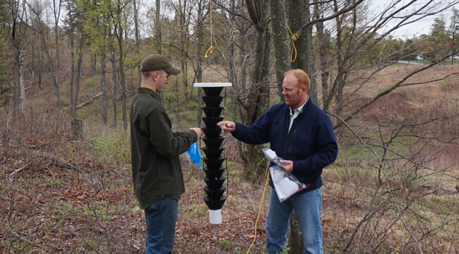 Two researchers set up a pheromone trap that looks like many stacked funnels hanging from a tree.
